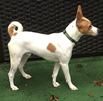 Basenji awaiting adoption