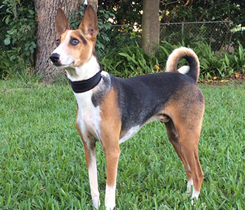 Healthy Basenji with Fanconi