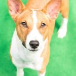 basenji with ectopic ureters needs help