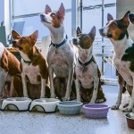 obedient_basenjis_wait_for_dinner