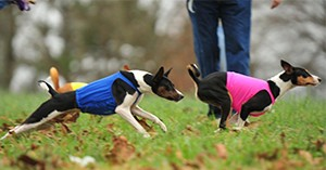 basenji_lure_coursing