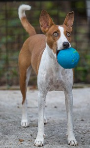 basenji_plays_ball