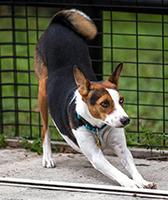 basenji_puppy_pose