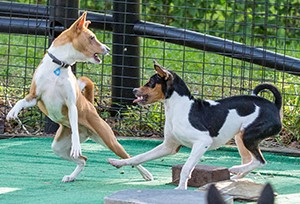 basenji_learning_play