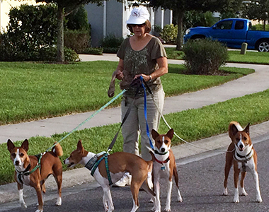 Many Basenjis walking with volunteer