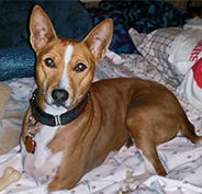 Basenji with glaucoma needs help